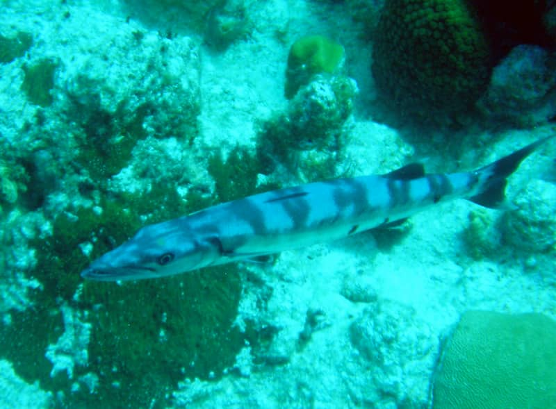 Baby Barracuda Name Baby Barracuda
