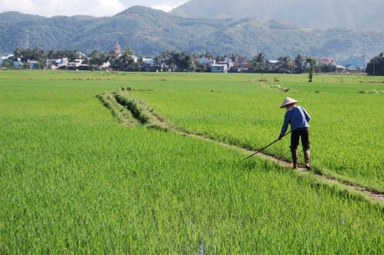 Worker in a rice paddy in Nha Trang, Vietnam.