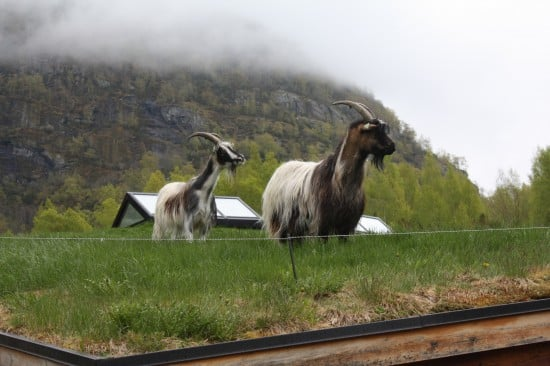 Lawn mowing the Norweigan way.