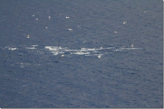 The captain announced that there were tuna fish jumping close to Ryndam. Birds also saw them and tried to get a catch.