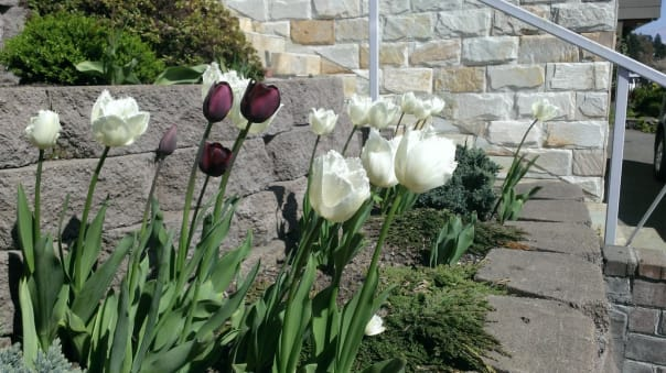 Holland America Line's Rachel Moodie got her tulips at a fundraising event and planted them in her home garden.