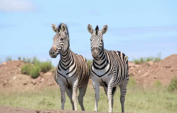 Two zebras at Tala Game Reserve, courtesy of Karen Mercer.