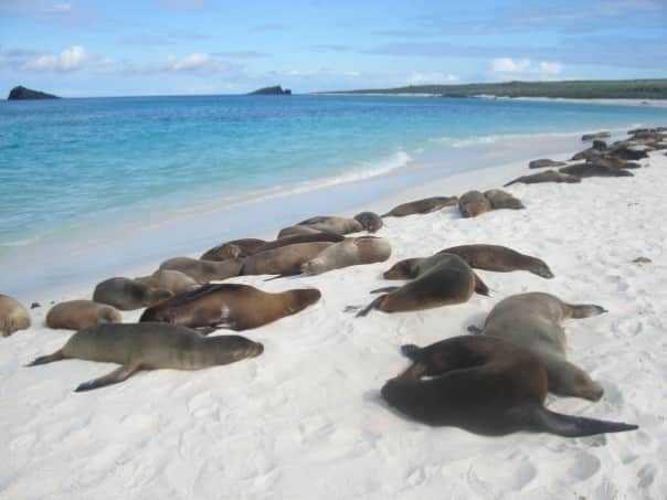Sea lions lounging on the beach in the Galapagos.