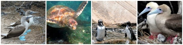 Animal are abundant in the Galapagos. From left: Blue Footed Booby, green turtle, the only penguins to live north of the equator and the Red Footed Booby. Three right photos courtesy of galapagosislands.com.