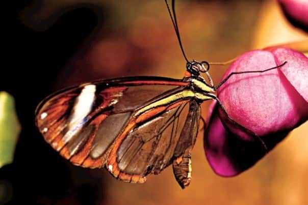 Beautiful butterflies can be seen in the Amazon.