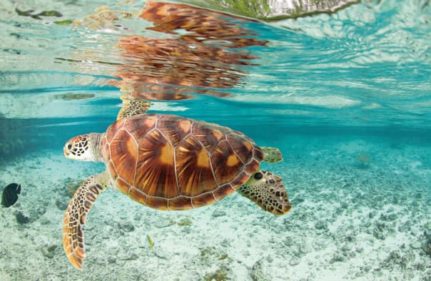 Enjoy a swim with the locals from your bungalow at Bora Bora.
