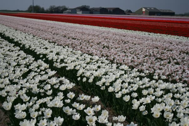 Holland America Line's white Signature Tulip with its delicate fringe is a stand-out in the tulip fields.