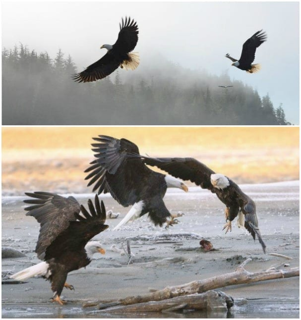 Eric Capshaw, top, and Charlene Compson capture beautiful shots of bald eagles.