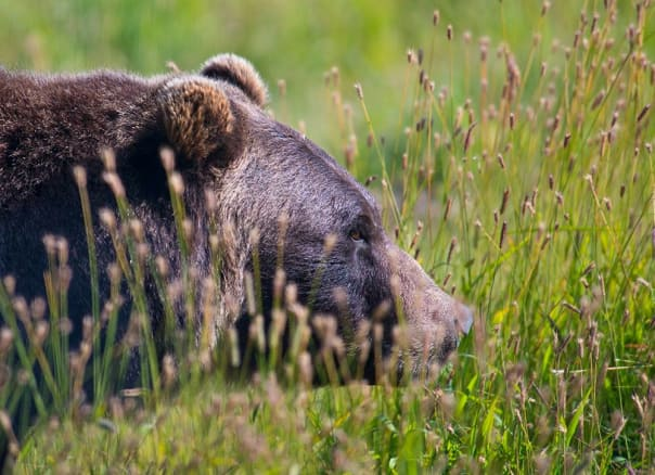 Brown bear looks for food at the Alaska Wildlife Conservation Center.