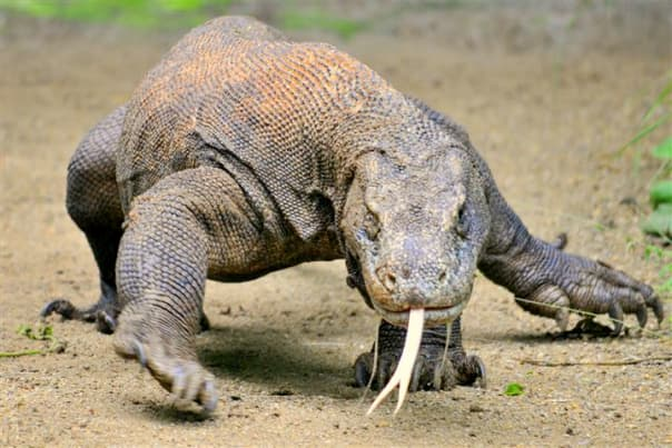 The impressive Komodo dragons await on Komodo Island.