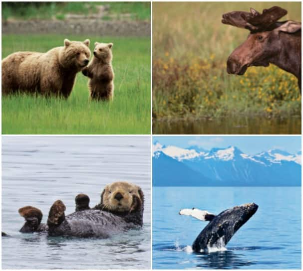 From cute and cuddly to marvelous and majestic, animals abound in Alaska.