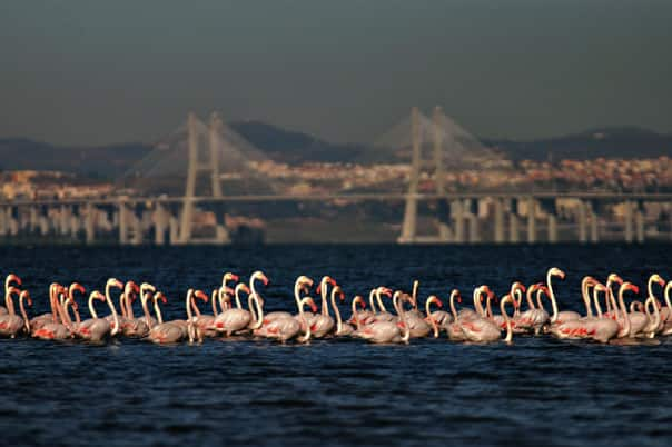Flamingos are just one of many bird species you'll spot at Tagus Estuary.