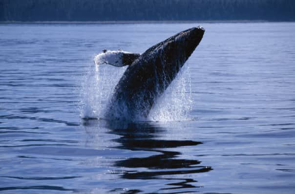 Spot humpback whales and contribute to research in Juneau.