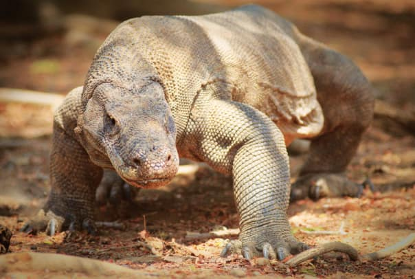 Seeing the fierce Komodo dragon is a highlight of the Grand Asia and Pacific Voyage.
