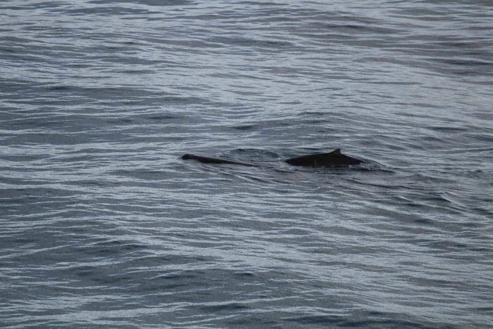 Beaked whales in Cook Strait.