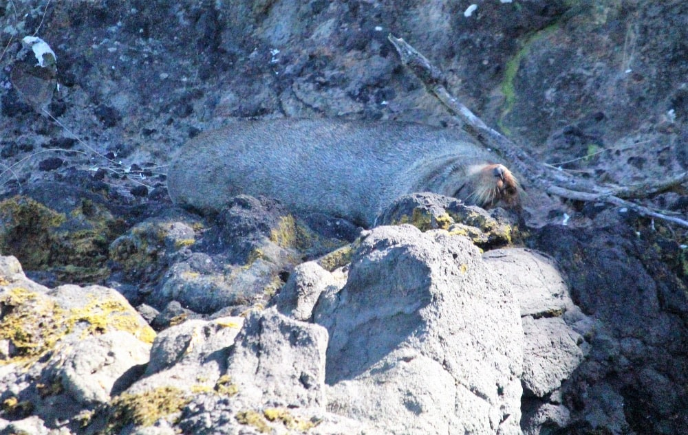 New Zealand Fur Seal having a snooze along the beach at Taiaroa Head, Port Chalmers, New Zealand. Photo: Kristy King ©