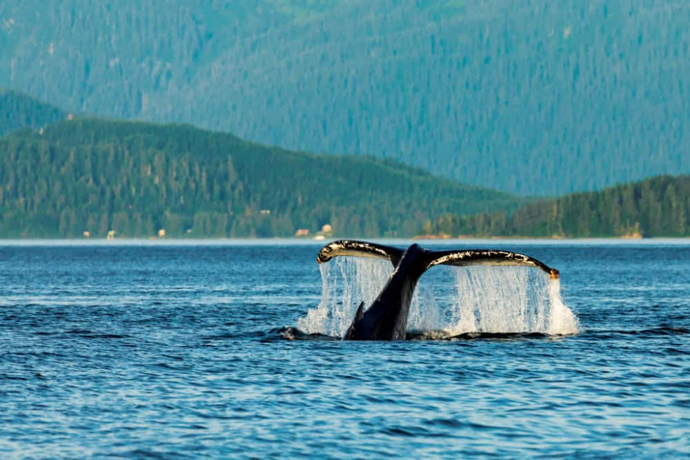 PB5F13 Humpback Whale diving in Saginaw Channel in Southeast Alaska.