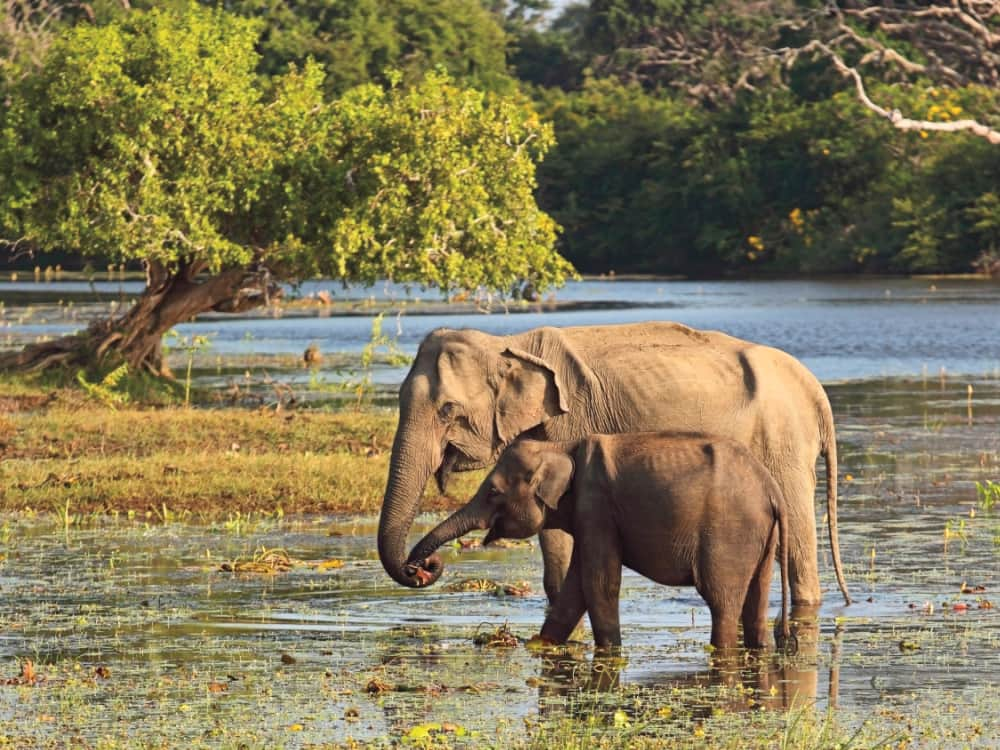 a mother and baby elephant at a water hole in yala national park sri lanka