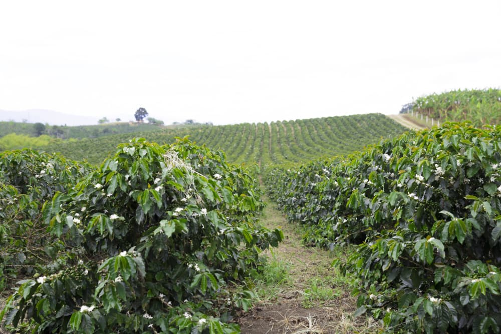 Coffee Plantation In Colombia, Red Coffee Beans on a Branch of Tree