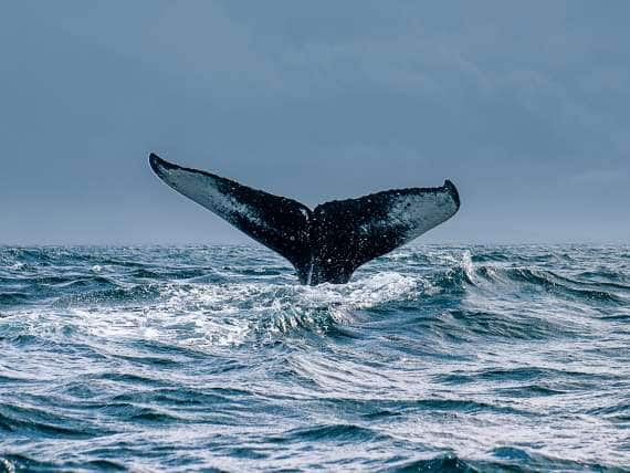 A whale dives underwater, leaving its tail in the air