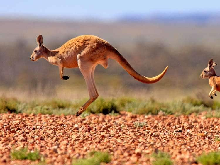 Two kangaroos hopping across a desert plateau seen on one of many excursions on Holland America Line Australia cruises
