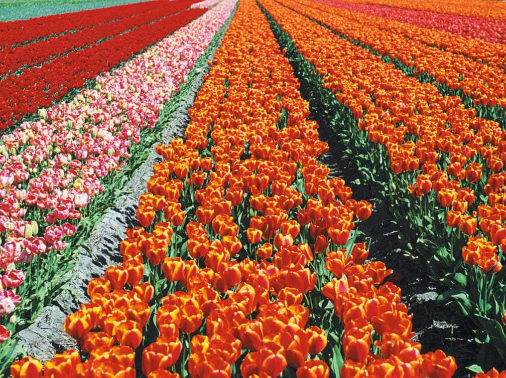 a field of tulips near amsterdam in the netherlands