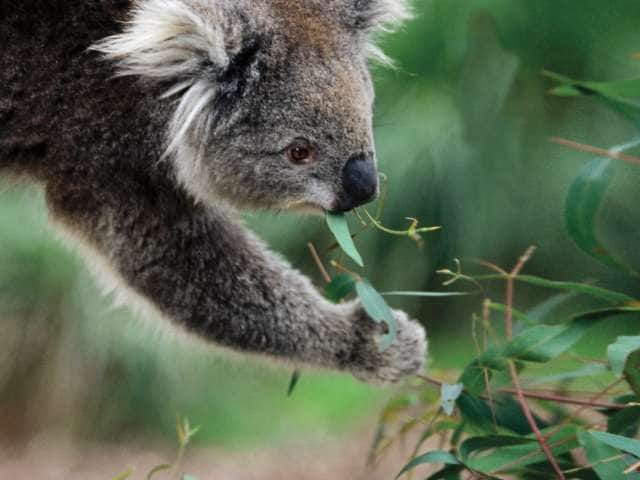 A picture of a Koala eating leaves in Australia seen on a world cruise