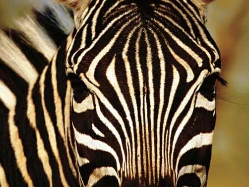 View of a Zebra's face seen on a transatlantic cruise to Africa