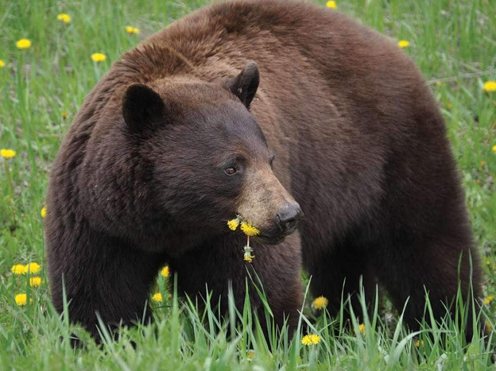 View of a bear eating flowers while on an excursion with an Alaska cruise deal