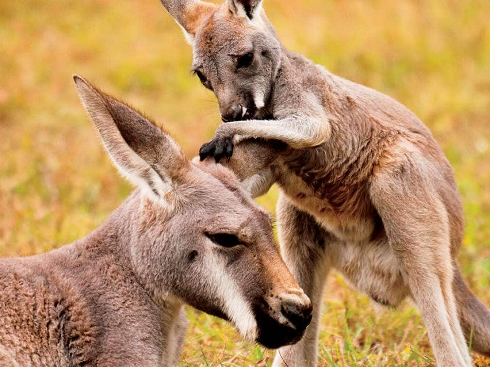 A kangaroo baby and mother in a field seen on an excursion via Australia and New Zealand Cruise deal