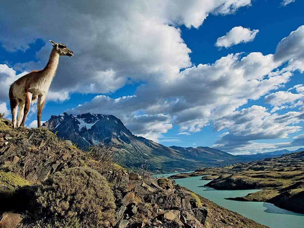 A llama overlooking the land in the Chilean mountains which is part of a South America and Antarctica package