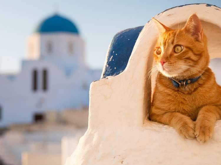 Cat in Santorini seen on a cruise to Greece
